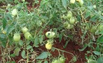 Sintomas de Pinta preta (<i>Alternaria solani</i>) em plantas de tomate