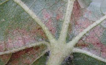 Sintomas em folhas de algodoeiro do ataque de ácaro rajado (<em>Tetranychus urticae</em>)