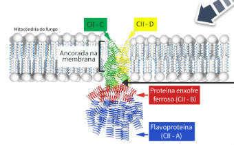 Sítio de ação das carboxamidas na SDH