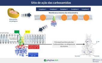 Sítio de ação das carboxamidas