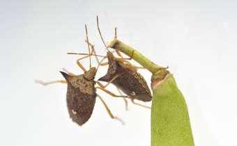 [Slides do Webinar]Desafios no manejo de sugadores da soja: mosca-branca e percevejos