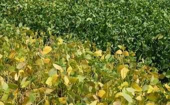 Soja louca II é detectada em lavouras do Rio Grande do Sul