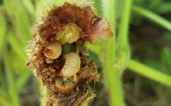 Tamanduá da soja (<em>Sternechus subsignatus</em>)