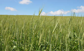 Tempo seco e alta pressão de oídio no trigo