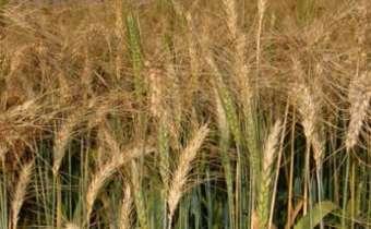 [Gravação do Webinar] Transmissibilidade de patógenos para semente de cereais de ...