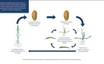 Trigo: controle de patógenos pelo tratamento de sementes