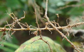 Uso do controle biológico sobre fungos de solo e fitonematoides