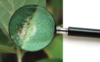 Você sabe identificar o míldio da soja?